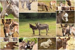 Photo collage donkeys. In country Royalty Free Stock Image