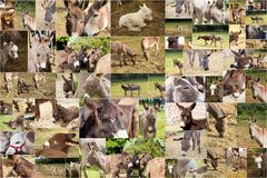 Photo collage donkeys Royalty Free Stock Photos