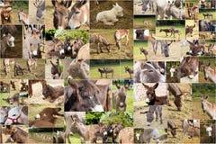 Photo collage donkeys. Photo collage of many donkeys Royalty Free Stock Photos