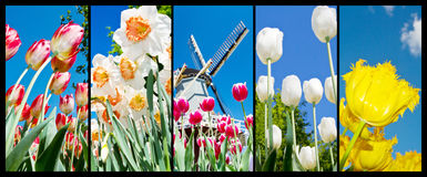 Photo collage of Dutch tulips and flowers Royalty Free Stock Images