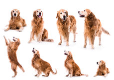 Photo collage golden retriever Royalty Free Stock Image