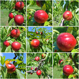 Photo collage: nectarines on a tree Royalty Free Stock Photography