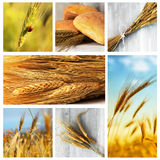 Wheat. Photo collage of wheat, rye and bread stock images