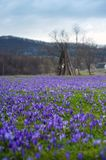 Photo of Colorful spring landscape in Carpathian village with fields of blooming crocuses. royalty free stock images