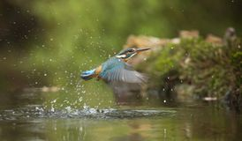 Photo of Common Kingfisher Flying Above River Royalty Free Stock Images