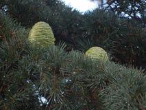 Cones of a coniferous tree in autumn stock photo