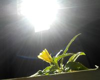 Flower. The photo consist of capture of a flower with sun rays shaded over the flower stock photos