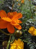 Flower. The photo consist of fully bloomed orange coloured flower stock images