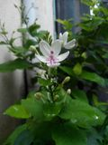 Flower. The photo consist of small white flower with many small flower buds royalty free stock photos