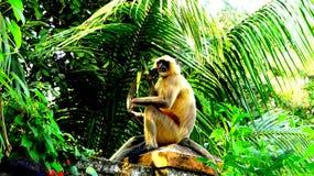 Monkey sitting on the boundary. The photo contain the picture of a monkey sitting on a boundary.The monkey enjoying the morning breakfast by eating Royalty Free Stock Photography