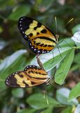 Copulating butterflies extreme close up Royalty Free Stock Image