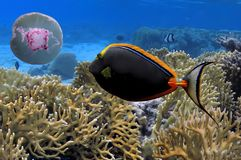 Photo of a coral colony, Red Sea. Egypt Stock Photos