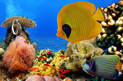 Photo of a coral colony. Underwater image of coral reef and Masked Butterfly Fish Royalty Free Stock Photos