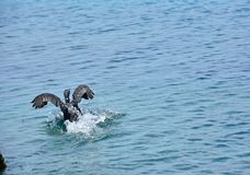 Cormorant Adriatic Sea Black Wings. Photo of a cormorant when he lands in water. The great cormorant Phalacrocorax carbo, known as the great black cormorant Royalty Free Stock Image