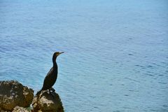 Cormorant Rock Sea Black Blue. Photo of a cormorant sitting on a rock by the sea. The great cormorant Phalacrocorax carbo, known as the great black cormorant Stock Image