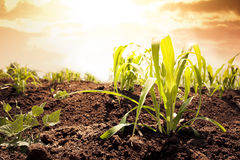 Photo of corn field at sunset Royalty Free Stock Photos