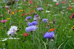 Photo of cornflower, marigold and poppy flowers in a field of wild flowers, taken on a sunny day in summer, in Eastcote, UK