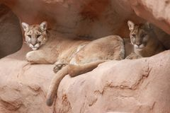 Cougars in the Phoenix Zoo. This is a photo of a couple of cougars taken at the Phoenix Zoo in Arizona while I was on vacation February 2017 Royalty Free Stock Photo