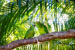 Birds of Parque Das Aves. Photo of a couple of green parrots, in Parque Das Aves, Brazil royalty free stock images