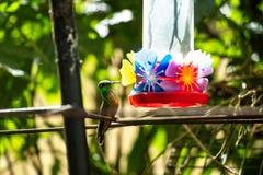 Birds of Parque Das Aves. Photo of a couple of a hummingbird in Parque Das Aves, Brazil royalty free stock image