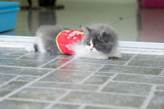 Photo courante - Cat Chinese New Years espiègle adorable Images stock