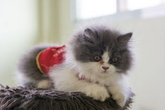 Photo courante - Cat Chinese New Years espiègle adorable Photo stock