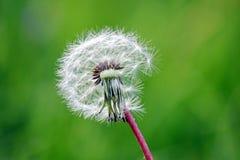 Photo courante d'herbe sèche de pissenlit photo stock