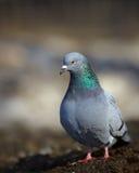Photo courante de pigeon sur le fond brouillé Photographie stock libre de droits