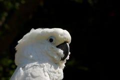Photo courante horizontale de Cockatoo blanc photos libres de droits