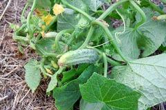 Photo courante sativus de plantation de jardinage de maison d'usine de Cucumis de concombre images libres de droits