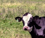 Photo of a cow in a field. This cow was grazing in the fields with her sisters. This photo was taken in the summer of 2017. Quebec, Canada Royalty Free Stock Photo