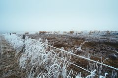Cow in the winter pasture stock photos
