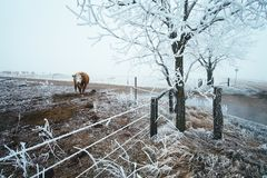 Cow in the winter pasture stock photo
