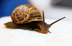 Photo of crawling snail. Big brown snail crawling on a white surface Royalty Free Stock Image