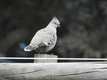Crested pigeon resting on a wooden post royalty free stock images