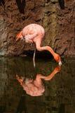 A Cuban Flamingo standing on one leg feeding royalty free stock photo