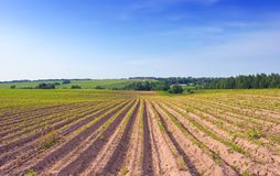 Photo with the cultivated ridges of a potato field Royalty Free Stock Photo
