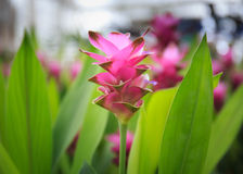 Photo of Curcuma alismatifolia blossom in Thailand Stock Photo