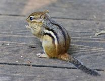 Image of a cute funny chipmunk eating something. Photo of a cute funny chipmunk eating something royalty free stock images