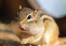 Image of a cute funny chipmunk eating something. Photo of a cute funny chipmunk eating something stock photography