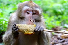 Photo of cute long-tailed monkeys. Is eating grilled corn Royalty Free Stock Image
