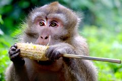 Photo of cute long-tailed monkeys. Is eating grilled corn. Looking at left Royalty Free Stock Photo