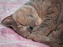 Blissful sleeping pedigree cat Royalty Free Stock Photos