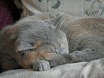 Blissful sleeping pedigree cat Stock Image