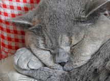 Cat napping sleeping on paws Stock Images