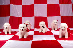 Photo of cute puppies Samoyed breed Stock Photography