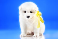 Photo of cute puppy Samoyed breed Royalty Free Stock Images