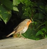Cute summer robin bird on park bench. Photo of a cute summer robin red breast bird perching on a park bench in whitstable 7th june 2018 Stock Image