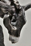 Photo of a cute tired donkey on the farm. Looking down, artistic toned photo Royalty Free Stock Images