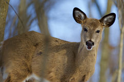 Photo of the cute wild young deer Royalty Free Stock Images